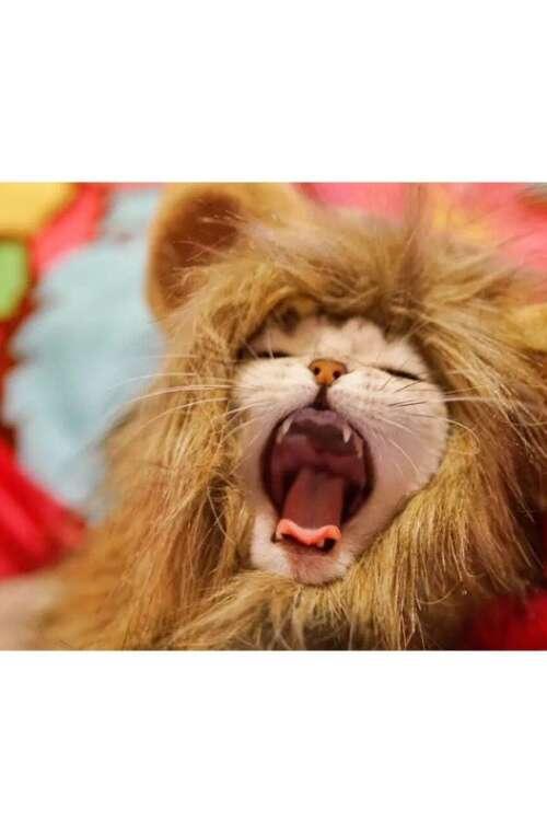 Kattperuk (Lejon)